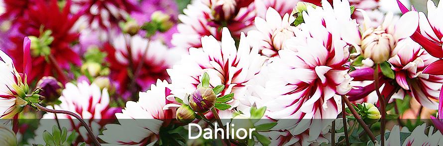 Dahlior, Rebecca´s World