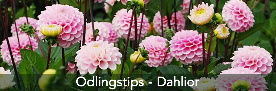Odlingstips Dahlior
