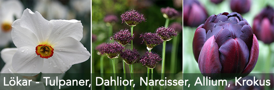 Tulpaner, Dahlior, Narcisser, Allium, Krokus